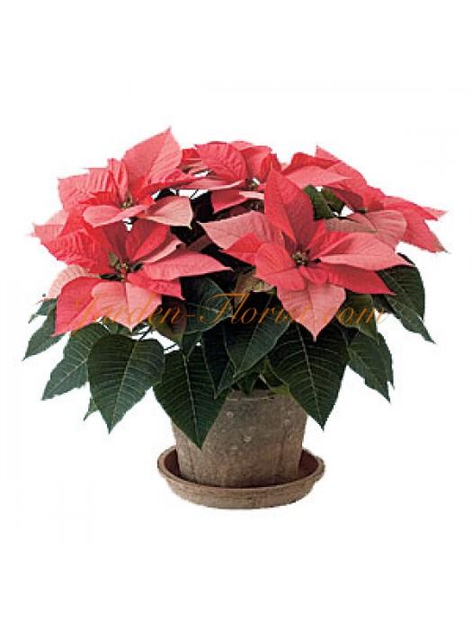 Розова Коледна звезда  (Poinsettia)