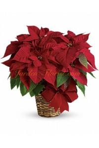 Червена Коледна звезда (Poinsettia)