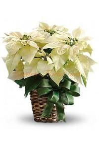 Бяла Коледна звезда (Poinsettia)