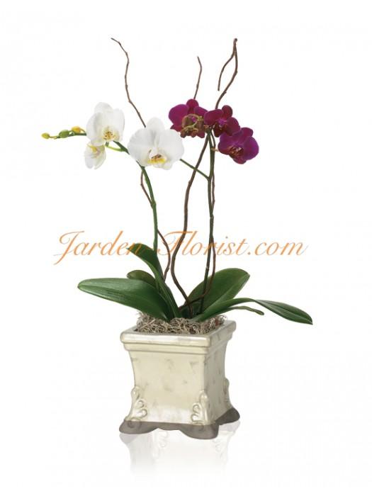 Дует от орхидеи