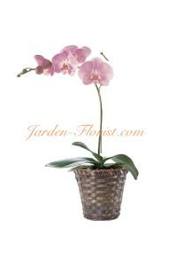 Розова орхидея (Phalaenopsis)